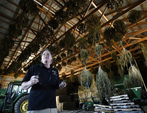 The other cannabis crop: Carroll County farmers test out growing logistics, market for newly legal hemp